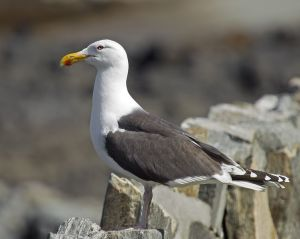 752px-Great_Black-backed_Gull_Larus_marinus (2)