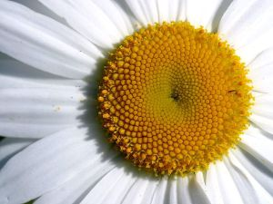 Closeup_of_a_daisy_flower